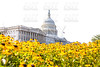 Capitol building Washington DC daisy flowers USA
