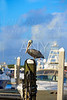 Fort Lauderdale Pelican bird in marina Florida