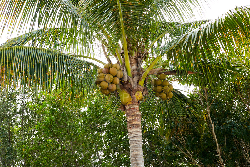Florida Sanibel Captiva island coconut palm tree
