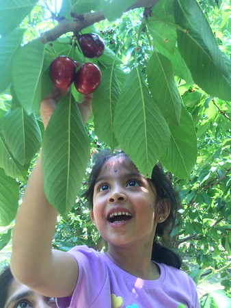 Cherry plucking @ Brentwood