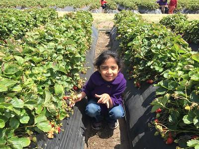 Strawberry plucking @ Swanton Farms 2017