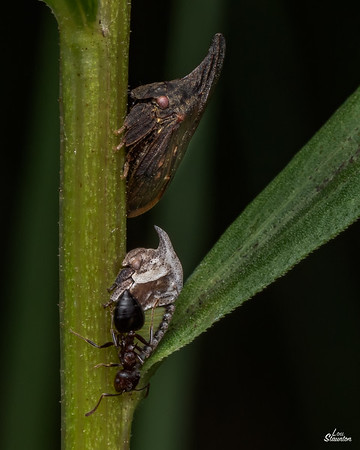 Treehopper adult, nymph, & attending ant
