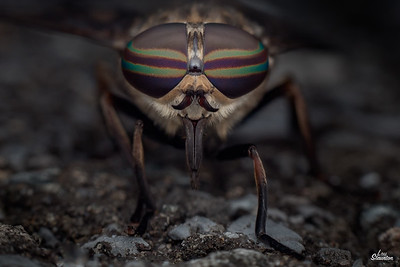Female Horse-fly