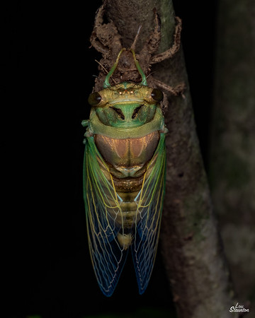 Freshly molted cicada