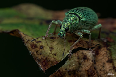Immigrant Weevil