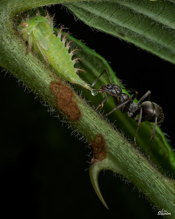 Buffalo Treethopper Nymph with Ant gathering honeydew