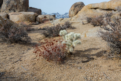 Silver Cholla (Cylindropuntia echinocarpa) & other desert plants. Alabama Hills. Lone Pine, CA, USA  In background: Mt. Whitney & Eastern Sierras