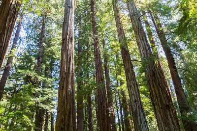 Coast Redwood (Sequoia sempervirens). Muir Woods National Monument - Mill Valley, CA