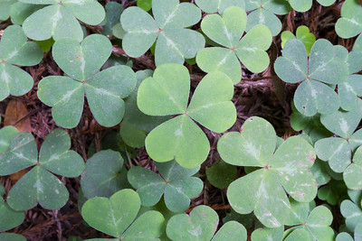 Shamrock. Muir Woods National Monument.