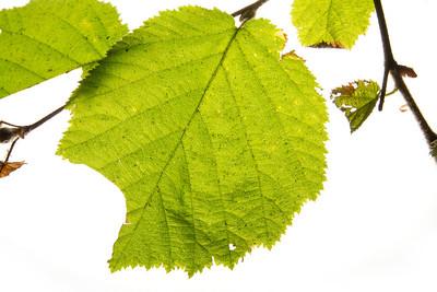 Leaf. Muir Woods National Monument.