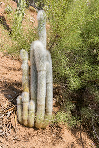 Cactus. Mineral King Road - Three Rivers, CA, USA