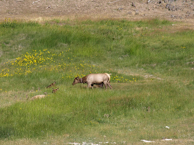 Deer taking poop. Mule Deer (Odocoileus hemionus). Yellowstone National Park