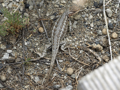 Western Fence Lizard(Sceloporus occidentalis). Mono Lake, CA near Lee Vining
