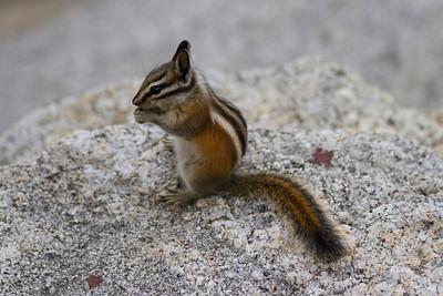 Chipmunk. Glacier Point - Yosemite National Park - California, USA
