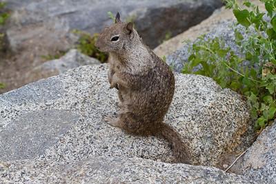 Squirrel. Glacier Point - Yosemite National Park - California, USA