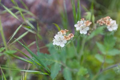 Caterpillar Phacelia (Phacelia cicutaria). Stanislaus National Forest (Near Ferguson Rock Slide) - CA, USA - Route to Yosemite National Park