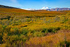 Color palate of Fall foliage in Denali National Park