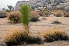 Desert Plants in Joshua Tree National Park