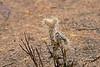 Teddy Bear Cactus  in Joshua Tree National Park