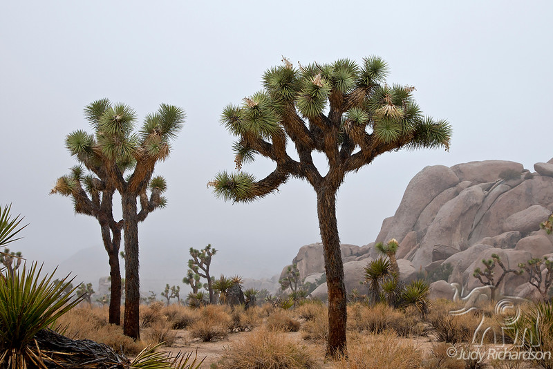 Joshua Trees in National Park