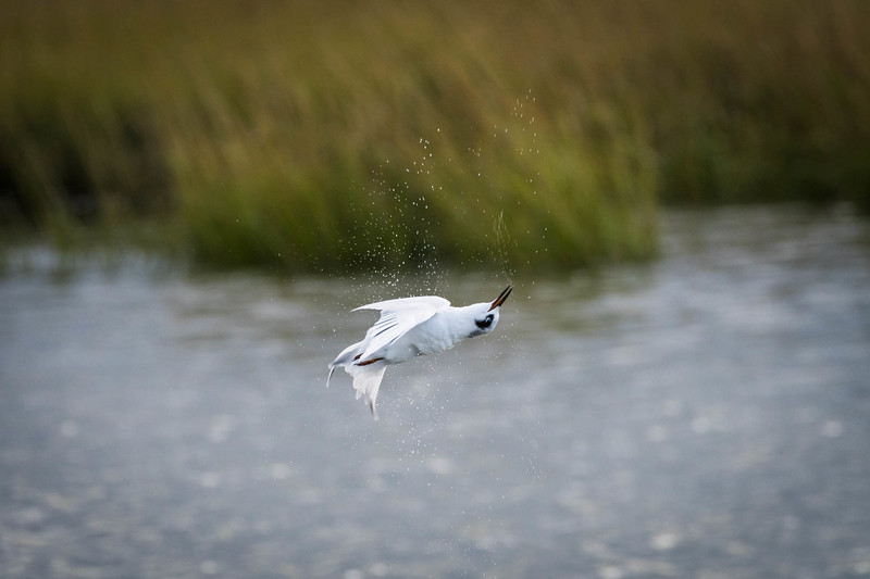 Tern coming out of dive