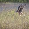 American Kestrel Hunting