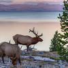 Bull Elk and Cow, Yellowstone Lake at Dusk