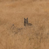 Coyotes in High Grass