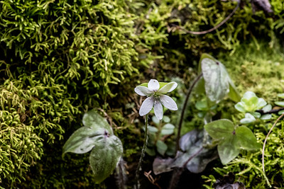 Sharp lobed Hepatica, Little River, Tennessee