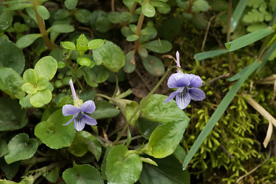 Viola rostrata, Little River, Tennessee