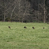 Turkeys and White tailed deer, Cades Cove, Tennessee