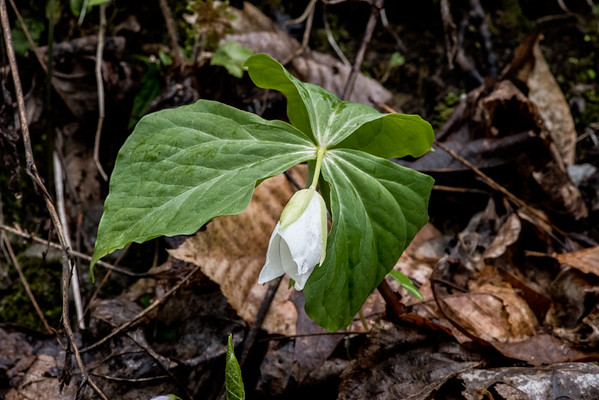 Catesby Trillium, Little River, Tennessee