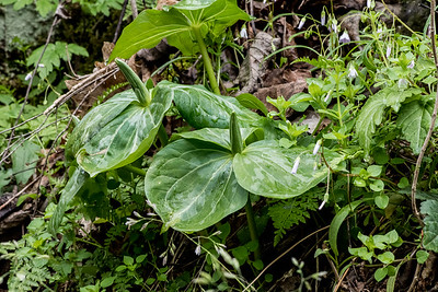 Trillium luteum, Little River, Tennessee