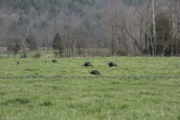 Turkeys, Cades Cove, Tennessee