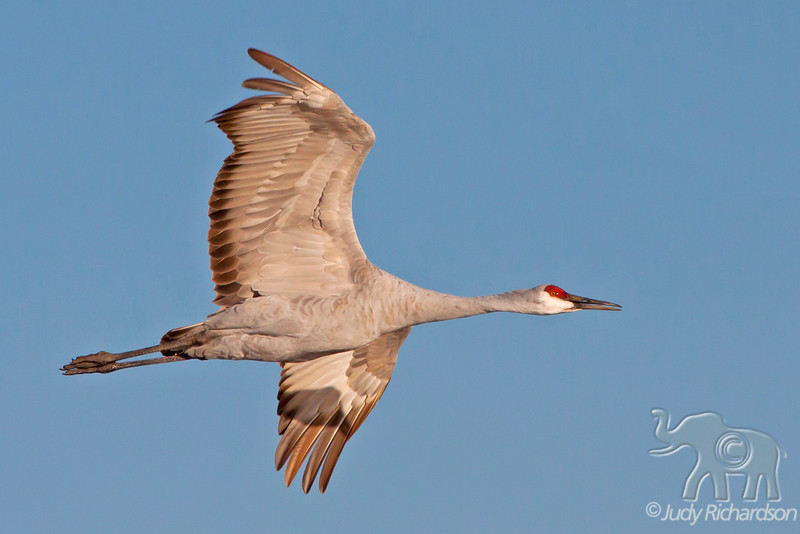 Sandhill Crane at Bosque Del Apache National Monument, NM