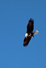 Bald Eagle at Bosque Del Apache National Monument, NM