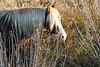 Chincoteague Pony with Beautiful Mane