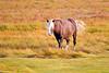 Chincoteague Pony at Chincoteague National Wildlife Refuge