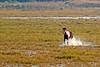 Chincoteague Pony Galloping
