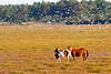 Chincoteague Ponies With Birds