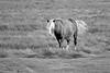 Chincoteague Pony in B&W