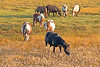 Chincoteague Ponies at Chincoteague National Wildlife Refuge