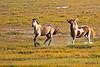 Chincoteague Ponies Galloping at Chincoteague National Wildlife Refuge