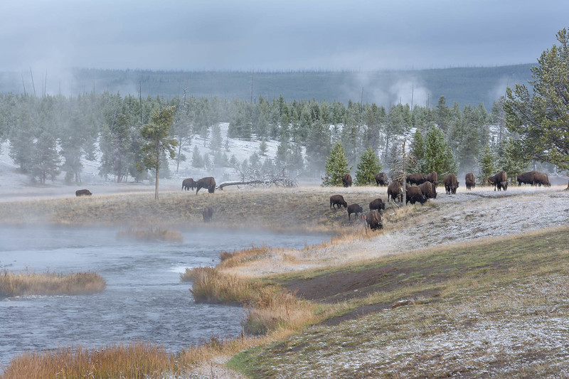 Buffalo on Firehole River