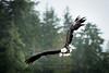 Bald Eagle, Ketchikan, Alaska