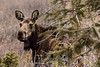 Moose near Hosier Pass, CO