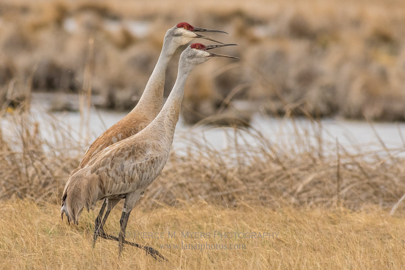 Sandhill Cranes Ruby Lake NWR, NV