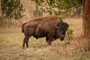 Buffalo in Windcave National Park South Dakota