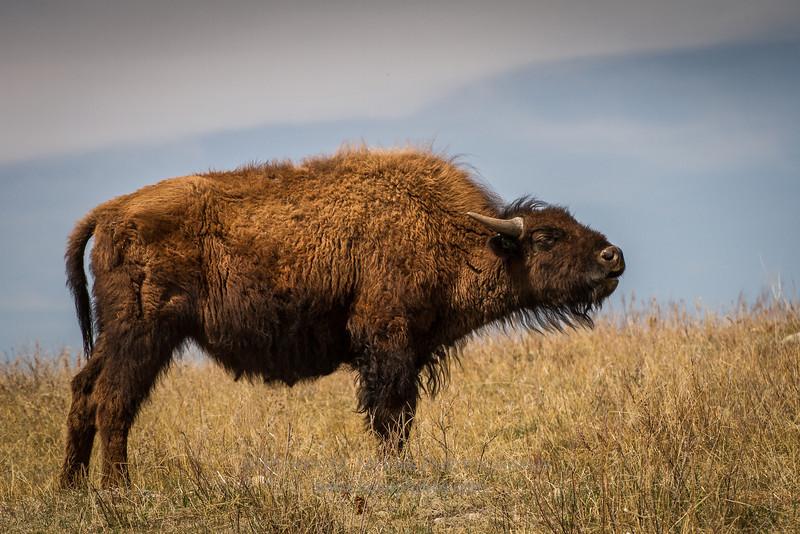 Buffalo in Custer National Park South Dakota