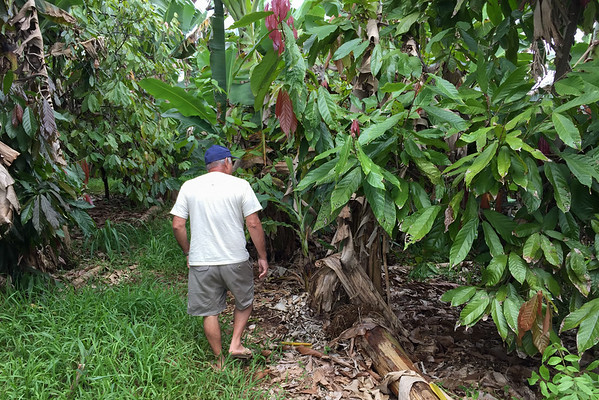Touring Hawaiian Crown Chocolate's cacao farm, in Hilo, Hawaii